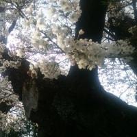 お花見で老木の桜に感動した