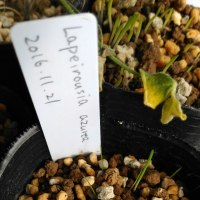 加温播種と冬型球根