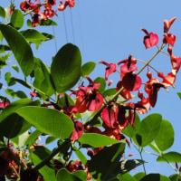 カイコウズの木に花が