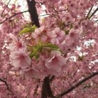 京都でお花見