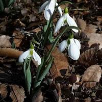 雪の化身のような花?!花言葉は「希望、慰め」