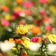 fotolia「一面の松葉牡丹」