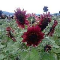 帰省にて…秋の向日葵