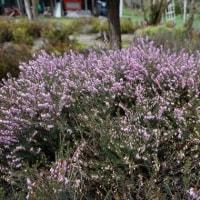 オクトーバーグローリーの花