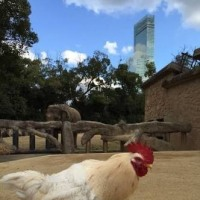 奇跡の鶏、マサヒロ君