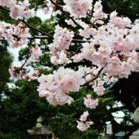 今治市の別宮大山祇神社の彼岸桜が満開です