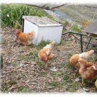 今年は酉年(^^♪そろそろ動き出すか…、元気に動き回っている「鶏さん」たち
