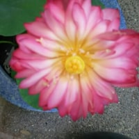 蓮の花が開きました🎵