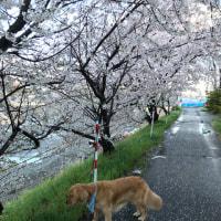春の嵐~でも花見日和