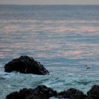 夜明けの波のシノリガモ♪