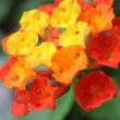 ●我が家の7月の花(11) メドーセージが開花