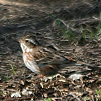 б 久しぶりに出会った野鳥、カシラダカの姿、ドキドキ眺め б H高原(岐阜県郡上市)
