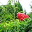 紅葉葵咲き萎む