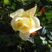 赤トンボと秋のクリーム色のバラ