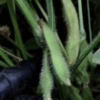 2014年のファームランドさいとうの枝豆祭りは9月27日土曜日です!