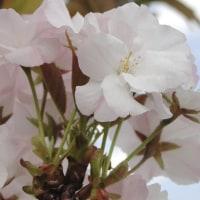 街路樹に若い八重桜