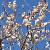 城山公園の梅や河津桜(館山市)