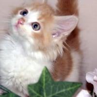 メインクーン子猫2頭販売中!/宮城県ペットショップ仙台市/石巻市/名取市