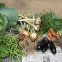 菜園からの収穫、本格化