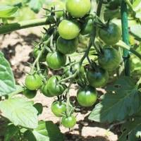 トマト ピーマン 豊作の気配