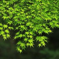 緑の紅葉って綺麗ですね 本日の予約状況です