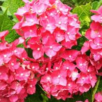 長弓寺 紫陽花