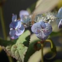 庭の山紫陽花*