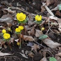 20170322 城山に片栗の花が咲き出した 05 Vario-Sonnar T* 35-135mm