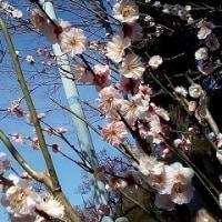 梅の花も終わりの池上梅園