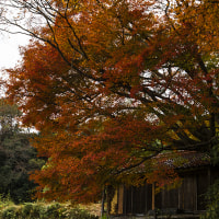 大きな紅葉の木