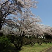 蚕業技術研究所桜並木