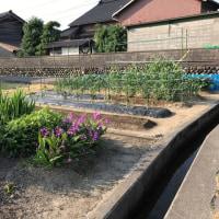 イチゴ菜園