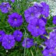 栴檀(せんだん)の花