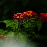 ランタナ (花 4045)