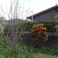 早くも花が咲き始めていた  タイワンナシ
