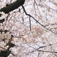 桜と八幡大神社