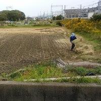 大川のヤギ達。稲藁を頂きました。紫芋・安納芋を頂きました。