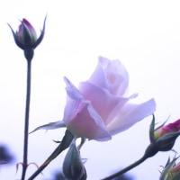 大雪の 青空に咲く 残りバラ  その2