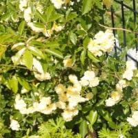 種花広場のツルバラ。