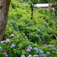 舞鶴自然文化園のアジサイ