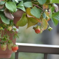 晩秋のベランダ菜園 トマト「豊作」