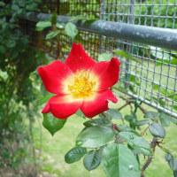 二番目の開花  バラのカクテル