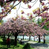 浮間公園の八重桜・・2