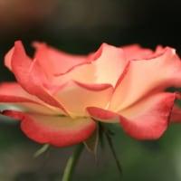 秋バラに誘われて #2