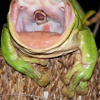 カエルに丸呑みされたヘビが激写される
