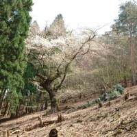 みずめの大桜