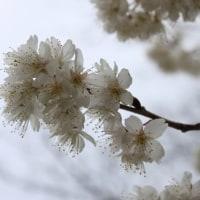 さくらんぼうの花が満開~! 2017.03.13