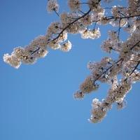 散り始めに桜三昧