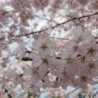 錦町公園@4/14