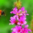 花の蜜を吸うトラマルハナバチ